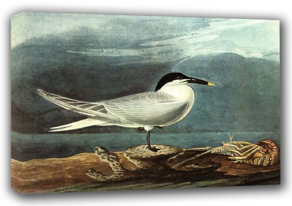 Audubon, John James: American Coot. (Ornothology/Bird) Fine Art Canvas. Sizes: A3/A2/A1 (00659)